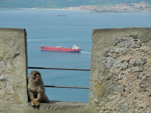 Gibraltar - Barbary macaque 2